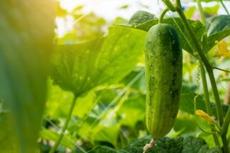 A Guide for Growing Cucumbers in Your Garden
