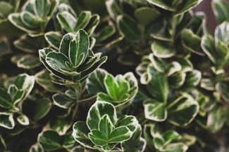 Enjoy Year-Round Beauty with Evergreen Shrubs