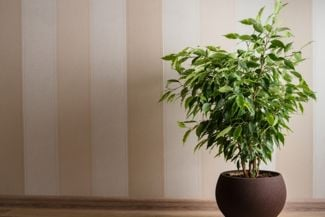 Spruce up Your Home With These Indoor Trees