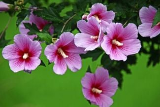 Rose of Sharon: A Showy Summer Bloomer