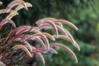 Reinvent Your Garden With Ornamental Grasses