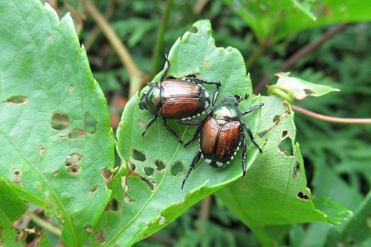 Tulip Pests Japanese Beetle Slug