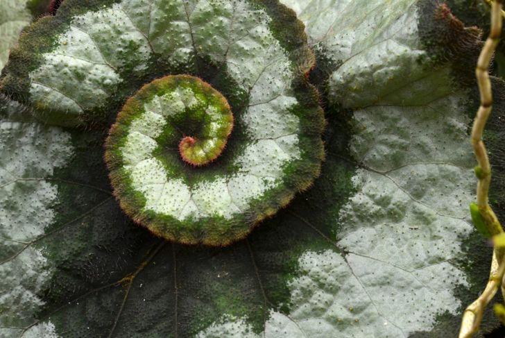 rex begonia spiral leaves escargot