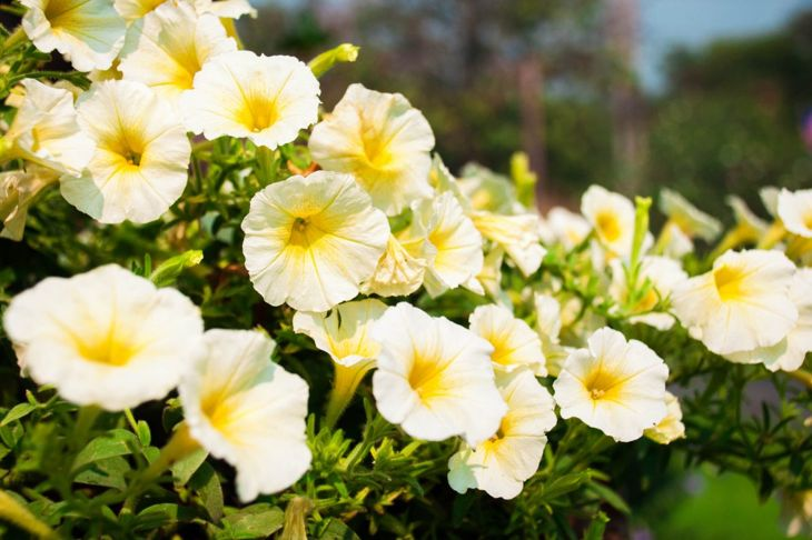 Calibrachoa in the sun.