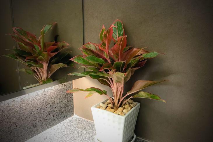 Crotons Codiaeum variegatum