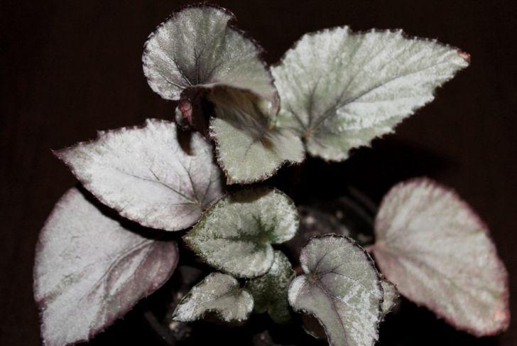varities leaves compact foliage
