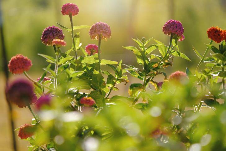 disease resistant plants zinnias