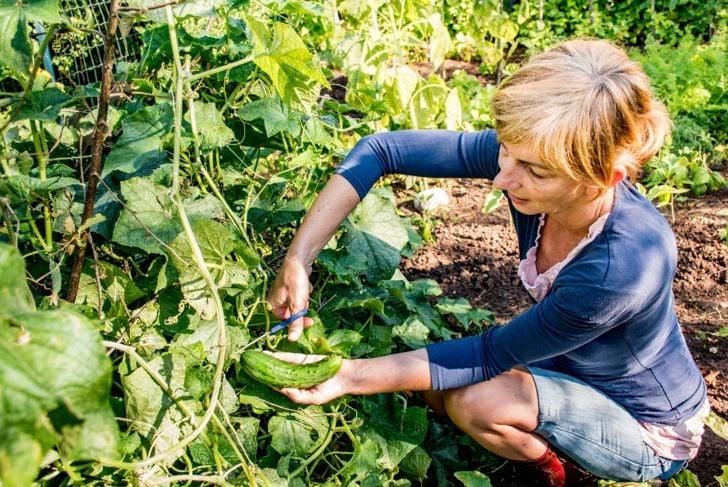 successive plantings ample season harvest