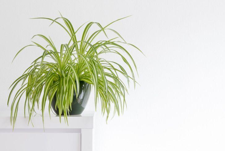 spider plant Chlorophytum comosum,