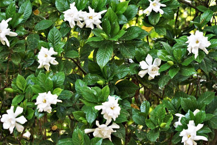 Gardenia Fragrant Flowering Shrubs