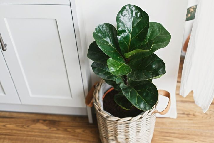 Fiddle-leaf fig finicky