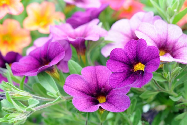 Dainty purple calibrachoa.