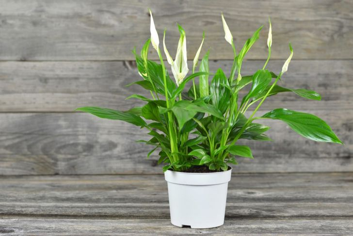 peace lily immune pests