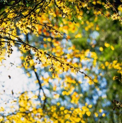 Witch Hazel Flowering Spring Yellow