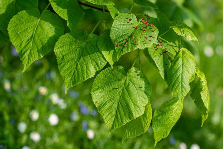 nematodes blight mulch mites