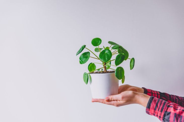 Person holding potted Pilea peperomioides.