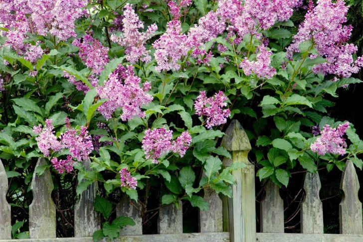 LIlac Blossoms Spring Shrub