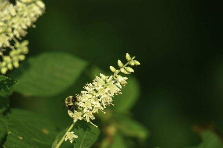 Summersweet Flowering Shrub Pollinators