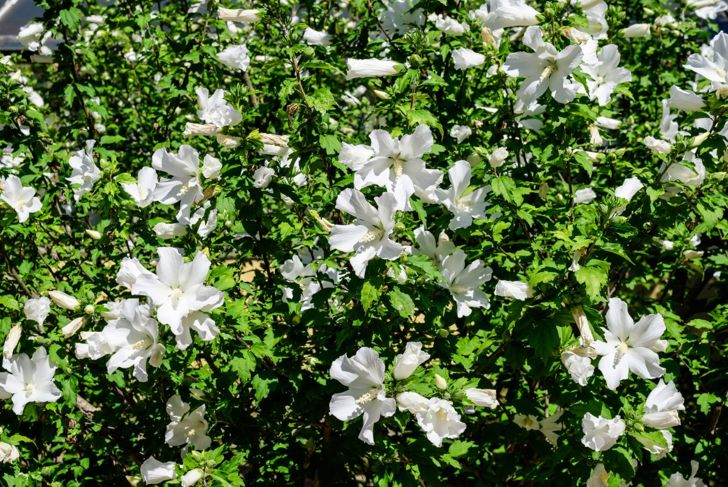 Rose of Sharon HIbiscus Flowering