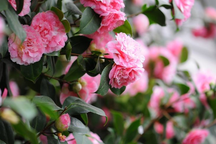 Camellia Flowering Southern Shrub