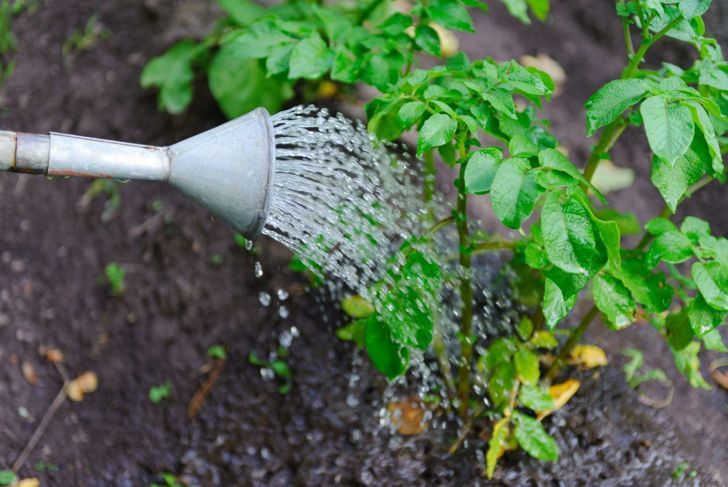 Watering Potatoes