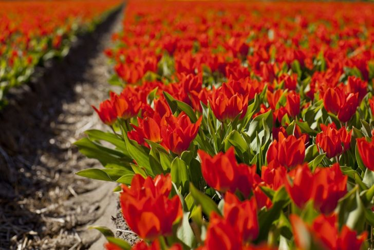 Tulip Spot Planting Soil Conditions
