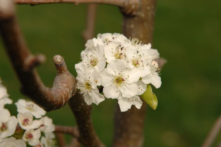 Cleveland pear tree in bloom