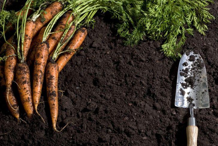 Carrots in good soil