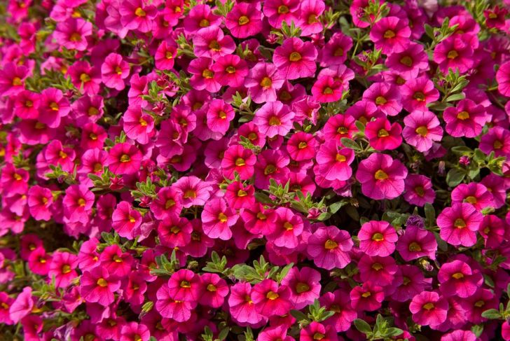 Bright pink calibrachoa.