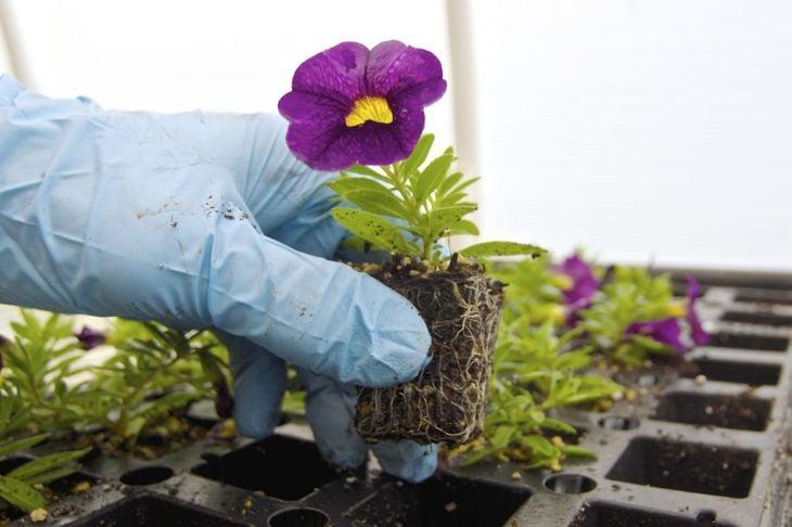 Planting calibrachoa.