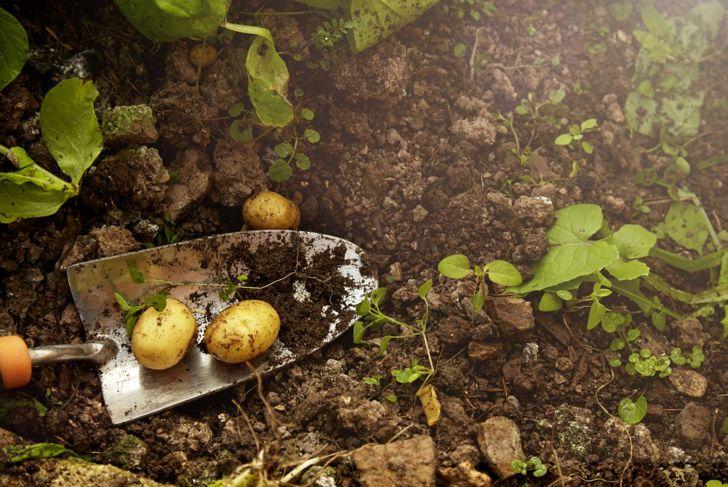 Harvesting healthy potatoes