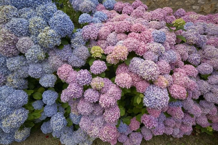 Hydrangea Flowering Shrub Blooms
