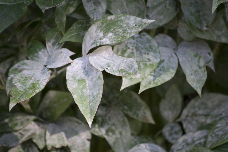 fungus plants powdery mildew