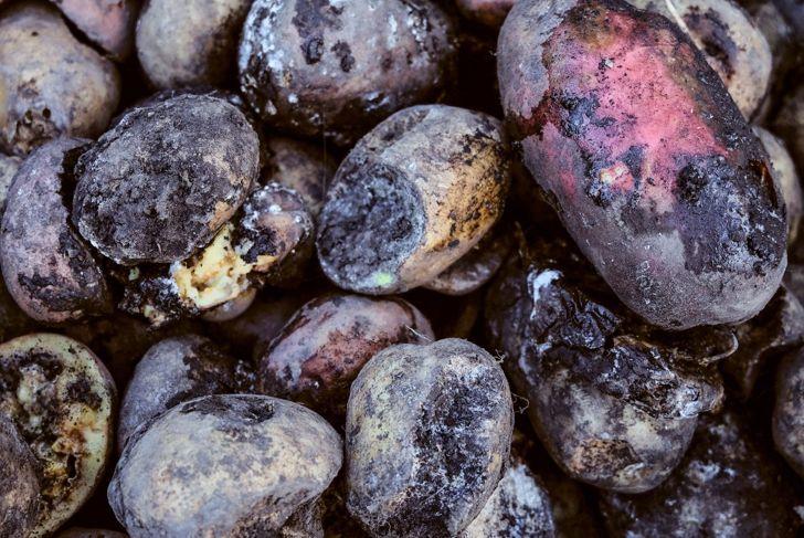 Diseased potatoes