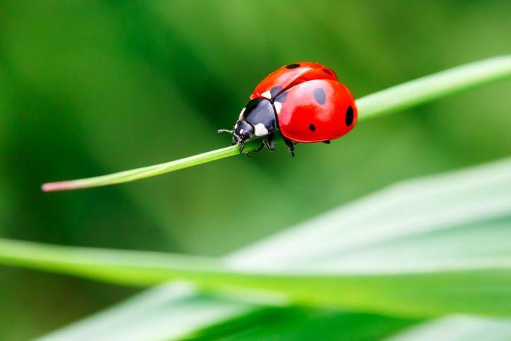 ladybug, insects