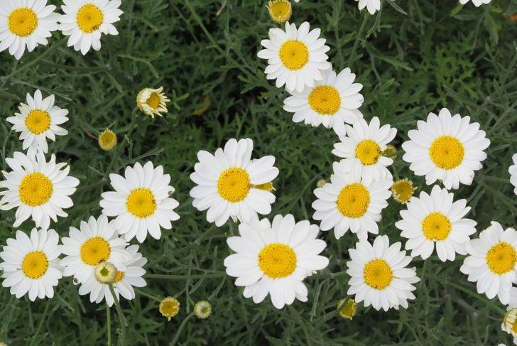 pyrethrin Chrysanthemum cinerariifolium environmentally safe