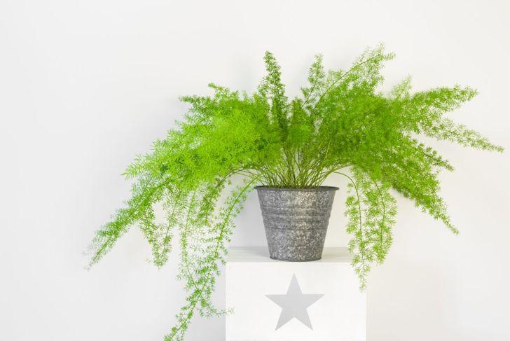 Asparagus fern densiflorus