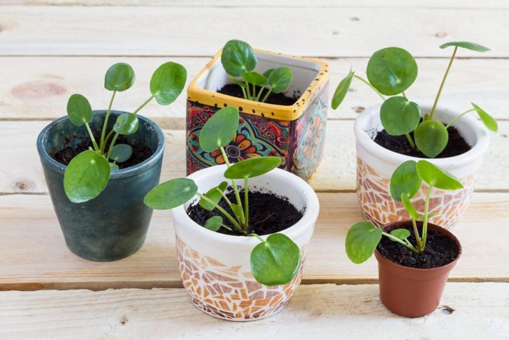 Propagated baby Pilea peperomioides plants freshly potted in colorful planters.