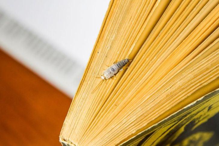 silverfish will eat bookbinding glue