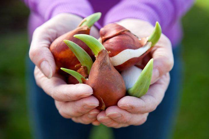 soaking tulip bulbs before planting