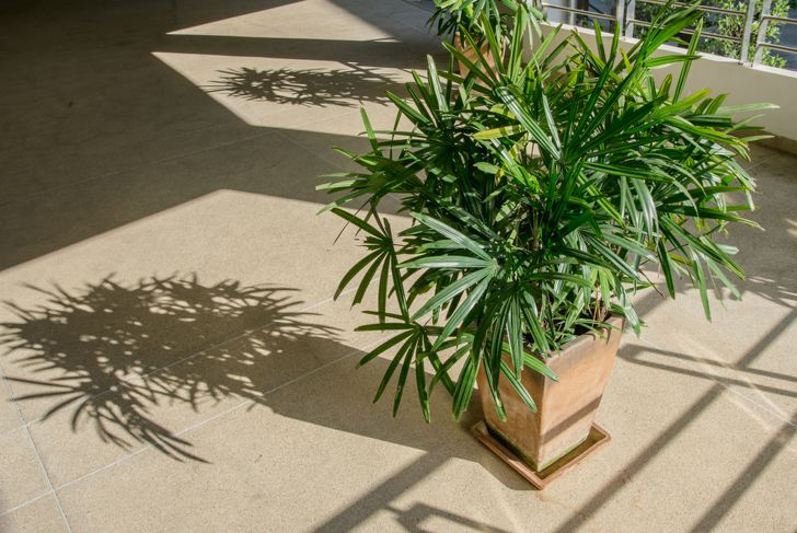 lady palm bedroom plant