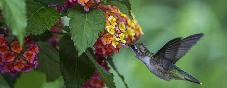 Attract Hummingbirds to Your Garden With These Flowers