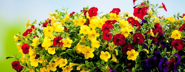 How to Grow the Captivating Calibrachoa