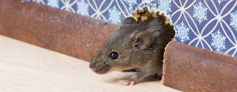 How to Deal With a Mouse Infestation