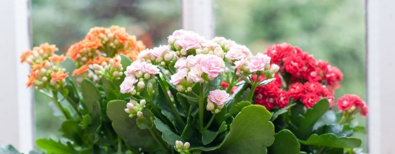Kalanchoe: Blooming Succulents With Amazing Foliage