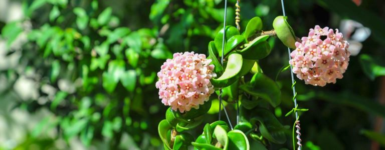 Growing Tips for a Fragrant Bloomer: The Hoya Plant