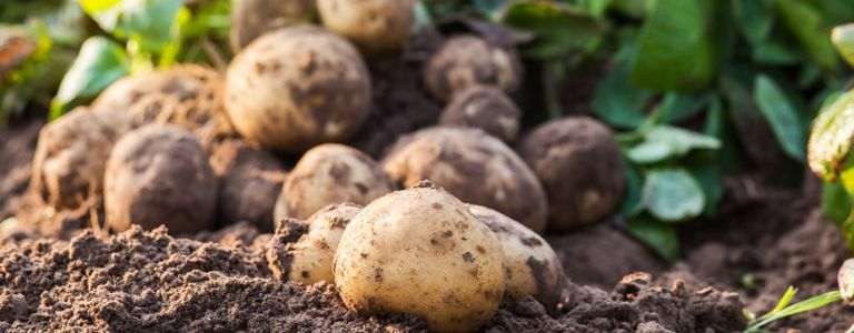 Growing Your Own Potatoes