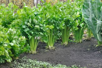 Tips for Growing Tastier Celery Yourself