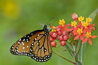 Attract Butterflies and Bees With the Milkweed Plant