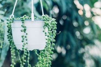 Spruce Up Your Space with a String of Pearls Plant